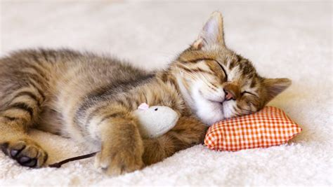 putting a to sleep at home animal images impremedia net