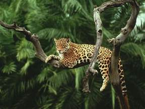 Jaguar In Forest Jaguar Species Wwf