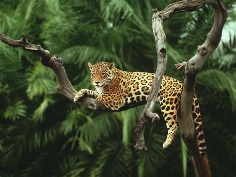 what do jaguars eat in the tropical rainforest jaguar species wwf