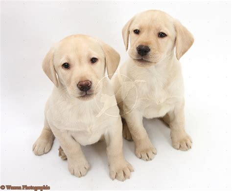 puppy yellow lab yellow lab puppy breeds picture