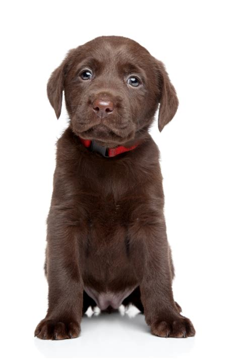 what to expect with a puppy what to expect of a new labrador puppy