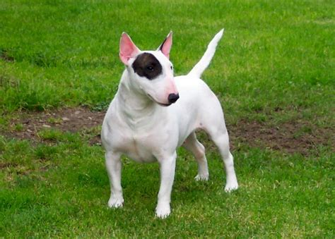 bull terrier dogs breeds pets