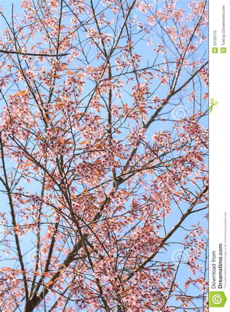 cherry blossom tree stock photo image 33705770