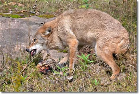 do coyotes eat dogs coyote removal trapper j will get rid of coyotes