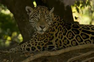 We Are Jaguars And The Rainforest Jaguars Of The Pantanal