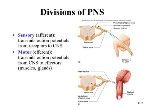 Section 35 3 Divisions Of The Nervous System by All Nervous Tissue Outside Of The Central Nervous System