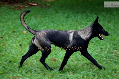 belgian malinois puppies for sale florida belgian malinois colors breeds picture