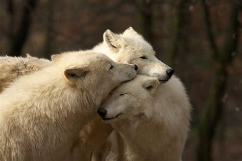Inidia Cat 33 white wolf ponor sa do snov