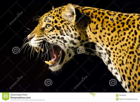 imagenes de ojos de jaguar rugido jaguar imagen de archivo imagen de roaring ojos