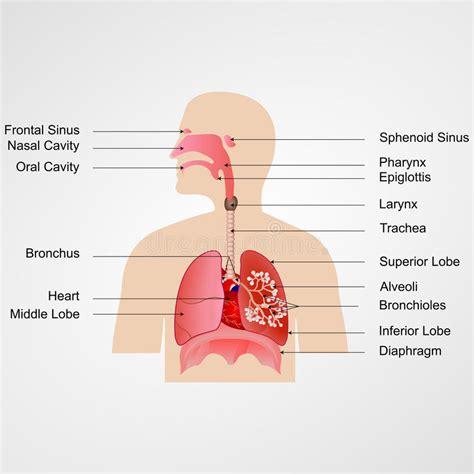 imagenes del sistema respiratorio ingles sistema respiratorio ilustraci 243 n del vector ilustraci 243 n
