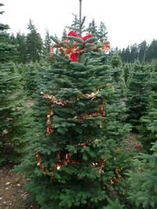 huberts christmas trees u cut pre tag photo gallery