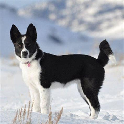 karelian puppy karelian breed guide learn about the karelian