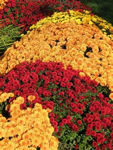 fall mums all about autumn pinterest