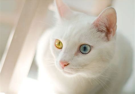 white cat with odd eyes pin by misty maberry on adorable pinterest