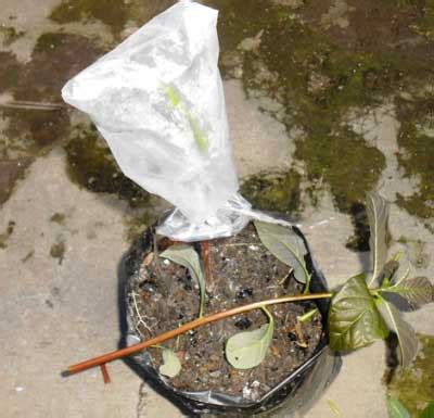 Bibit Alpukat Sambung cara sambung pucuk muda pada tanaman alpukat daun ijo