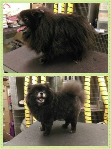 black pomeranian with boo haircut 17 best ideas about pomeranian haircut on haircuts pomeranian puppy