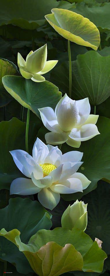 lotus flower in best 25 water lilies ideas on pond