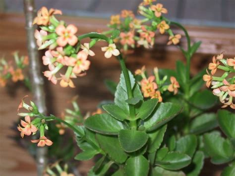 flowering house plants what is this flowering houseplant