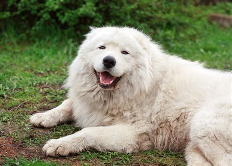 maremma golden retriever mix maremma sheepdog dogs breed information omlet