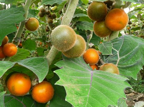 central fruit trees lulo fruit or naranjilla fruit comes from central and