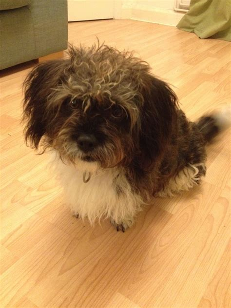 shih tzu needs gorgeous shih tzu needs new home worthing west sussex pets4homes