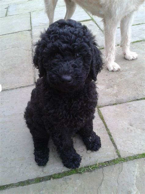poodle puppies for sale pedigree standard poodle puppies for sale pontypool torfaen pets4homes