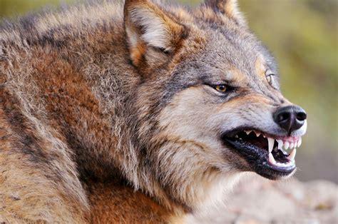 imagenes de lobos en 4k lobo mostrando sus colmillos im 225 genes y fotos