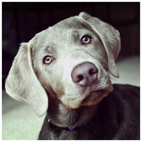 gray lab puppies silver lab grey labrador retriever labs gracie silver lab grey