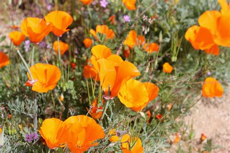 california poppy california poppy a symbol of spring sierra trading post blog