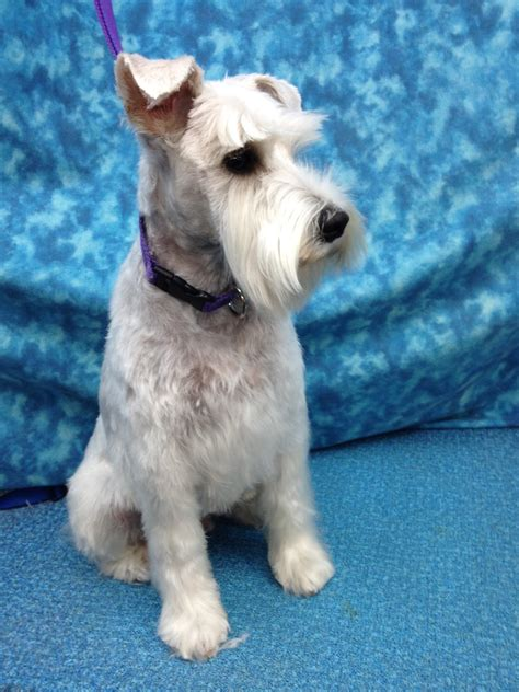 schnauzer hair cut step by step schnauzer hair cut step by step schnauzer hair cut step