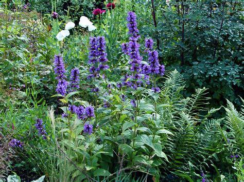 Dark Foliage Plants - nepeta kubanica