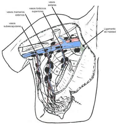 grupos ganglionares toracicos trabajos de investigaci 243 n gl 193 ndula mamaria ped 205 culo