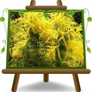 mimosa vaso acacia dealbata mimosa vaso 22 plants vivai