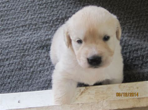 golden retriever puppies ontario white golden retriever puppies for sale ontario dogs our friends photo