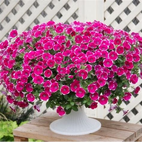 Wave And Flower popular wave petunia seeds buy cheap wave petunia seeds