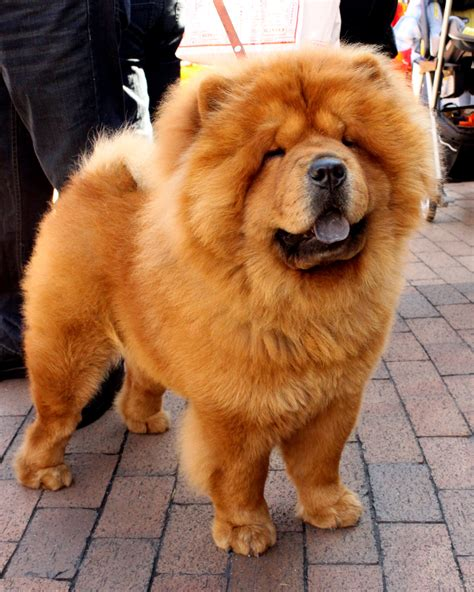 how much are chow chow puppies what you need to about chow chow puppies mashoid