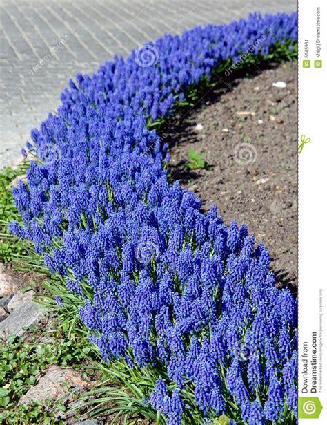 4 flores azules para jard macizo de flores azul imagen de archivo imagen 5149961