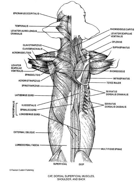 cat neck muscles diagram cat leg anatomy www pixshark images