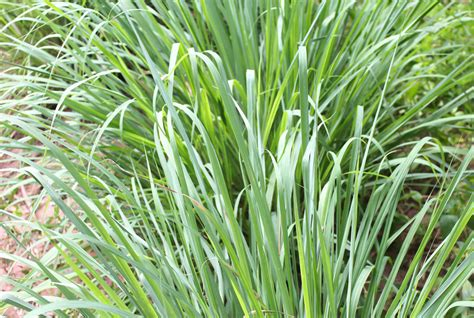 citronella grass 8 plants that repel bugs real simple