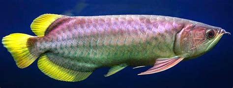 Anakan Arwana Banjar Kuning ikan arwana jenis jenis dan kisaran harga ikan hias
