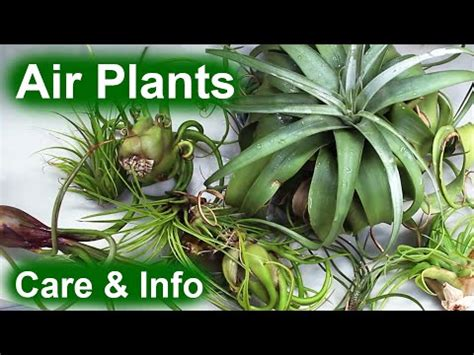 air plants tillandsia info care youtube