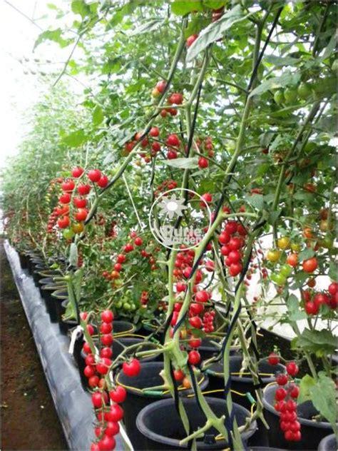 Benih Tomat Cherry Merah tomato cherry f1 20benih purie garden
