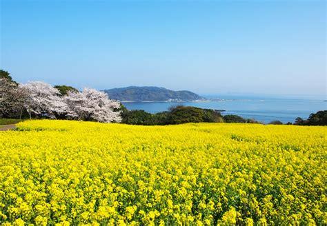 Japanese Cherry Blossom Tree flowers of the season nokonoshima island park