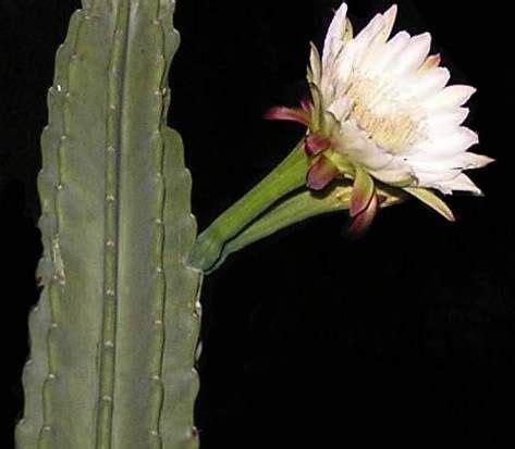 pianta con fiori bianchi tipo calla coltivazione pianta di cereus bellissimi fiori bianchi