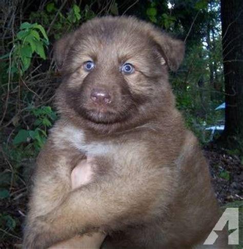 liver german shepherd puppies for sale amazing akc liver german shepherd puppies and coats for sale in