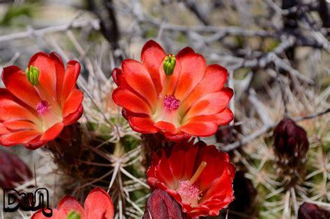 desert flowers dwn13 desert flowers