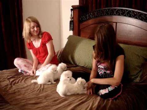 yorkie puppies for sale in los angeles ca maltese crufts 2016 breed specialist judge carol lees lafford funnydog tv