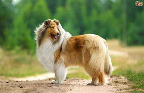 collie breed collie breed information buying advice photos and facts pets4homes