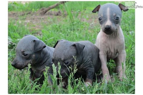 hairless puppies for sale american hairless terrier puppies for sale breeds picture