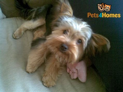 6 month yorkie 6 month yorkie for sale bristol bristol pets4homes